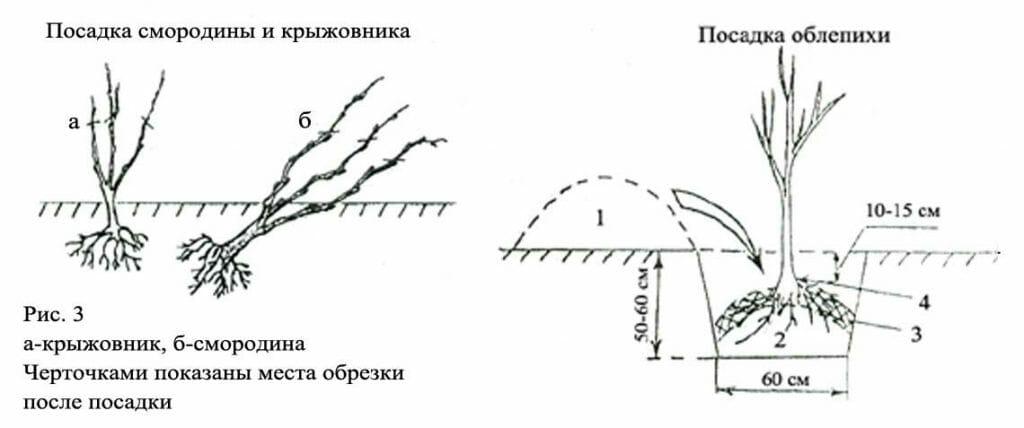 Как и какими способами можно размножать крыжовник, сроки и посадка