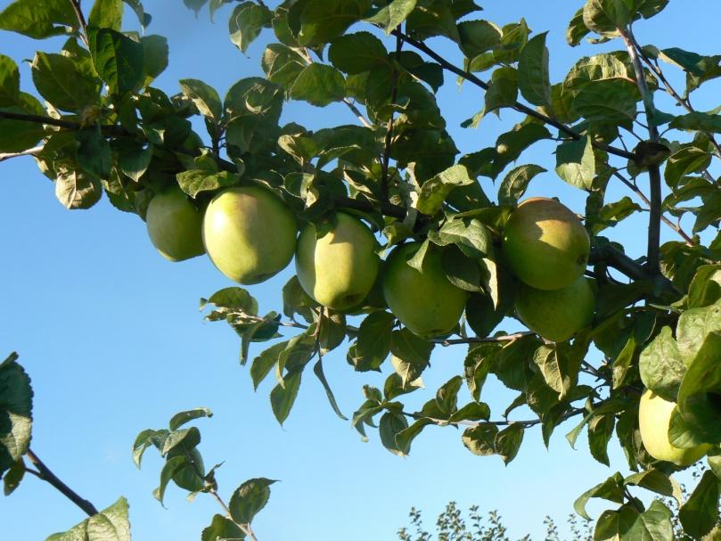 Описание сорта яблони веньяминовское: фото яблок, важные характеристики, урожайность с дерева