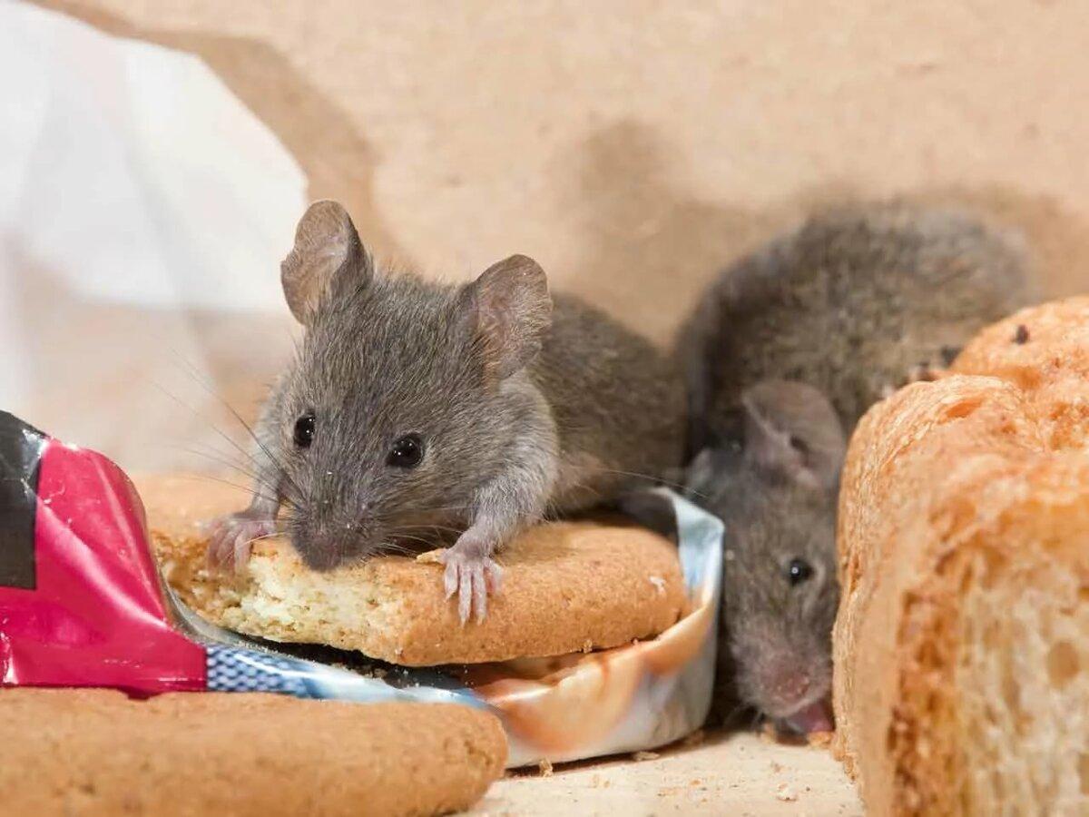 5 способов, как избавиться от мышей на даче навсегда: самые эффективные способы и народные методы