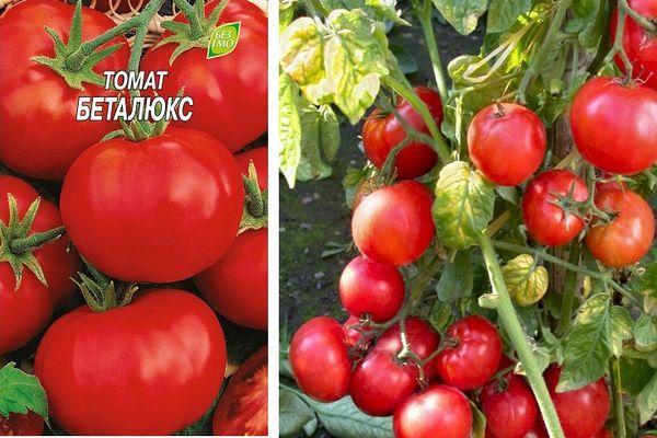Томат безрассадный: отзывы, фото, урожайность, характеристика и описание сорта, достоинства и недостатки, особенности выращивания