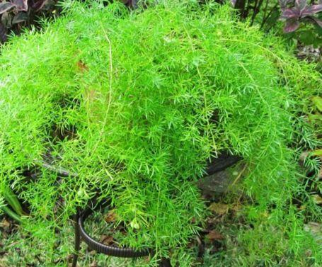 Спаржа – выращивание рассады из семян, посадка в открытый грунт и уход - огород, сад, балкон - медиаплатформа миртесен
