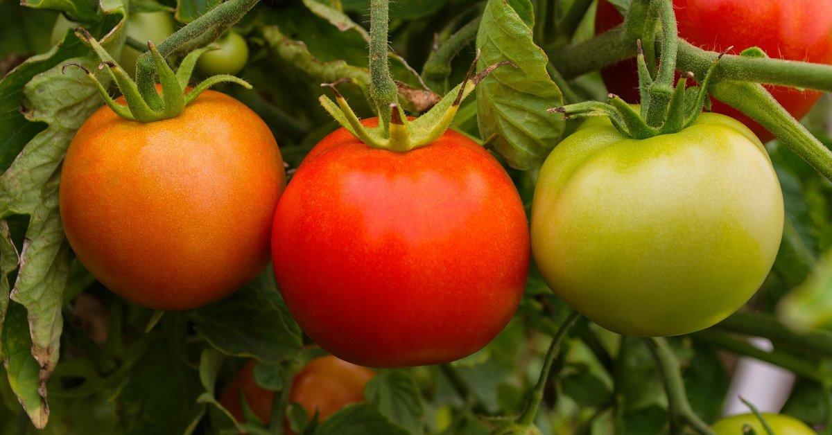 Низкорослые томаты – для открытого грунта без пасынкования, самые урожайные, лучшие сорта