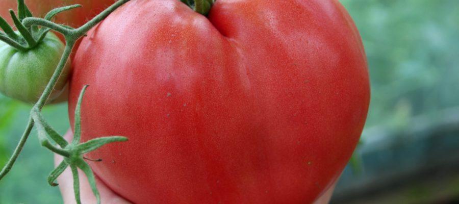 Томат орлиное сердце: отзывы, описание и характеристика сорта, фото, урожайность
