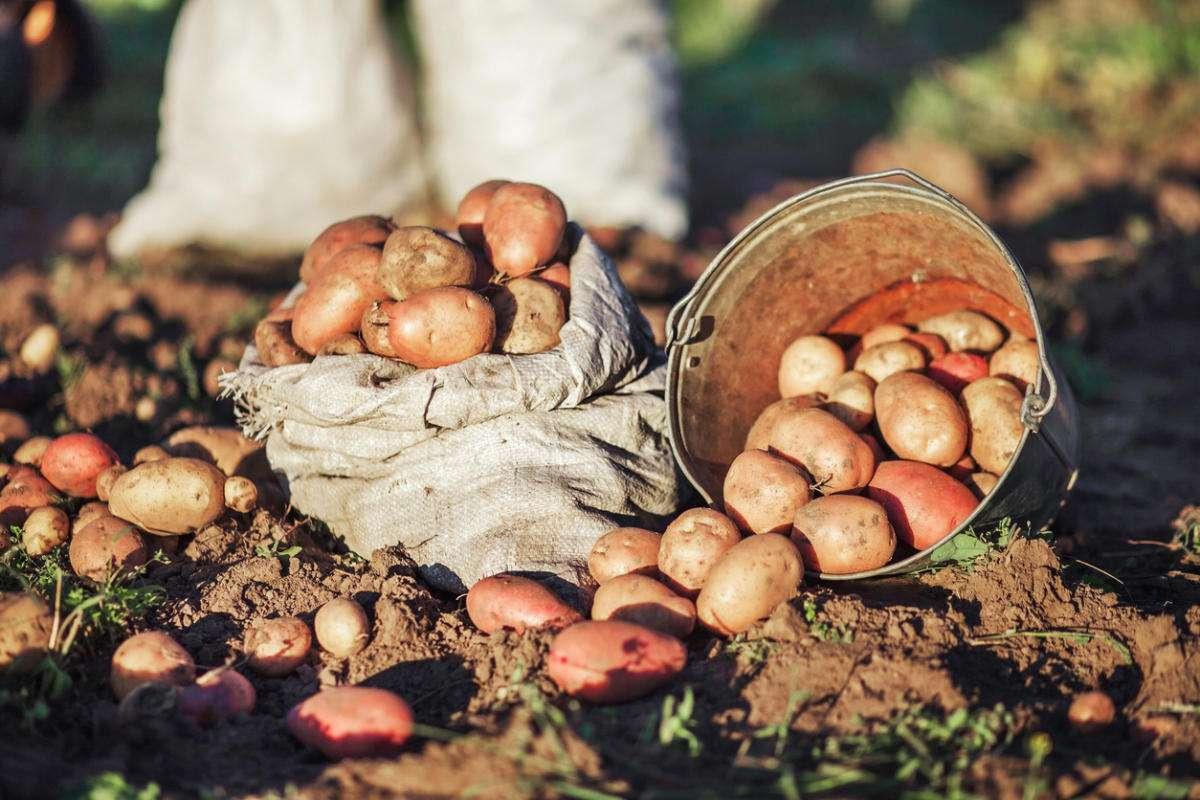 Картофель: посадка и уход в открытом грунте, уход после посадки