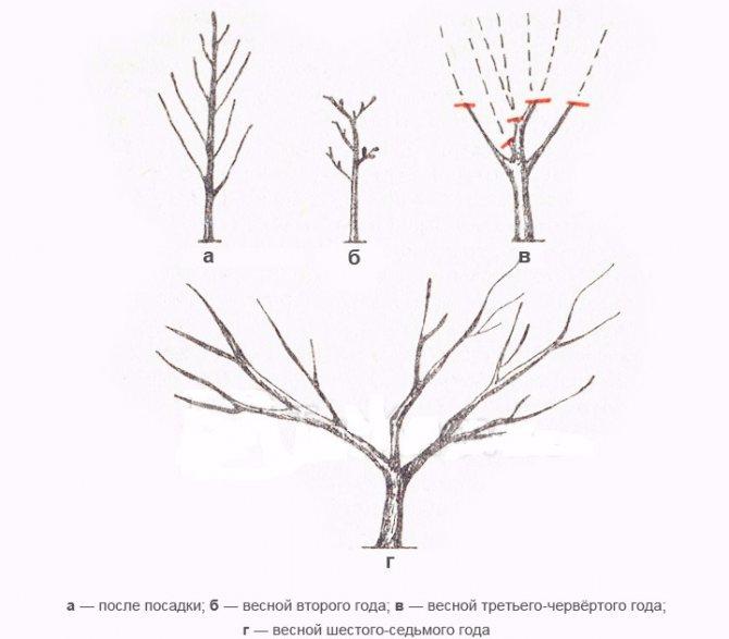 Обрезка персика весной и осенью: как и когда правильно подрезать?