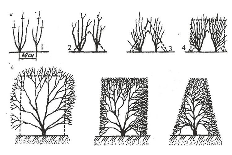 Стрижка живой изгороди на даче