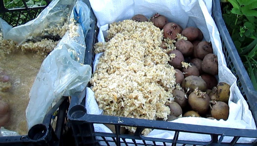 Методы проращивания картофеля перед посадкой
