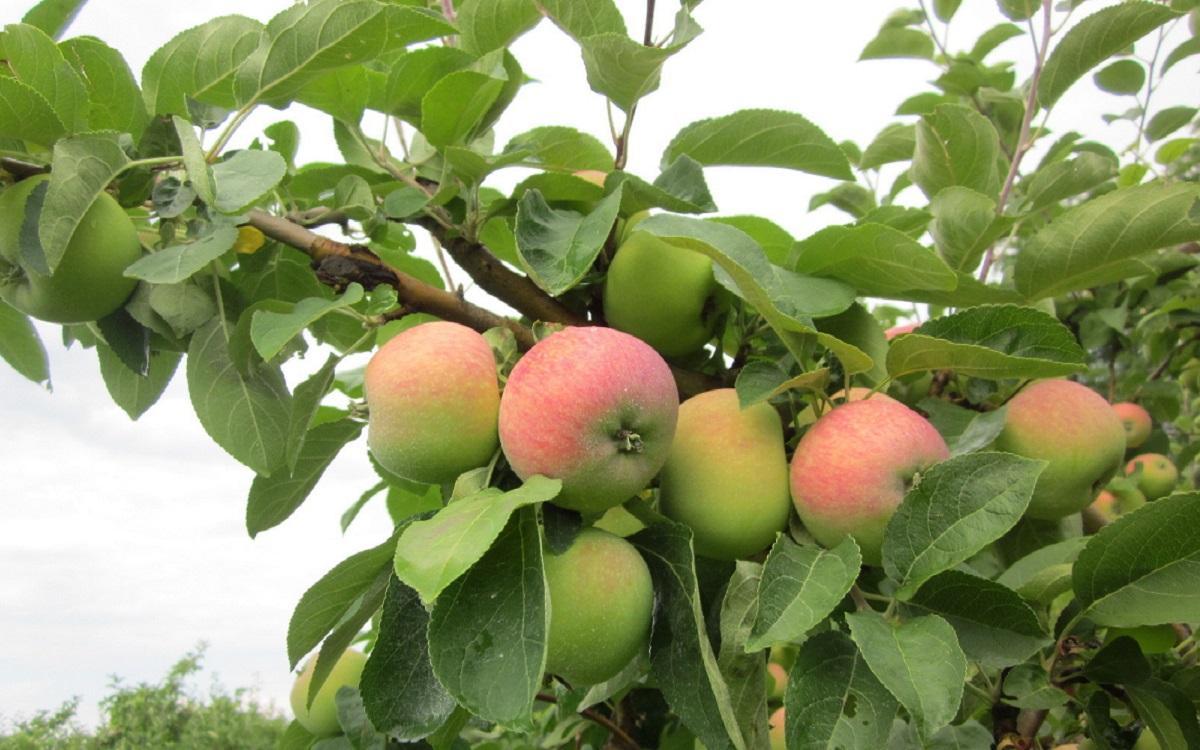 Яблоня солнышко: описание, фото, отзывы