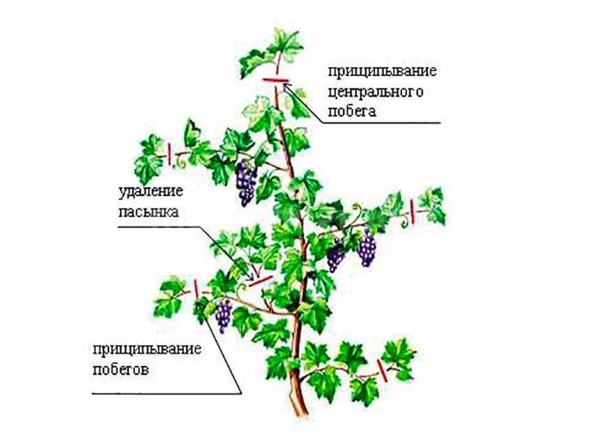 На какой год плодоносит виноград после посадки: этапы выращивания виноградников. советы для начинающих садоводов когда собирать первый урожай (110 фото)