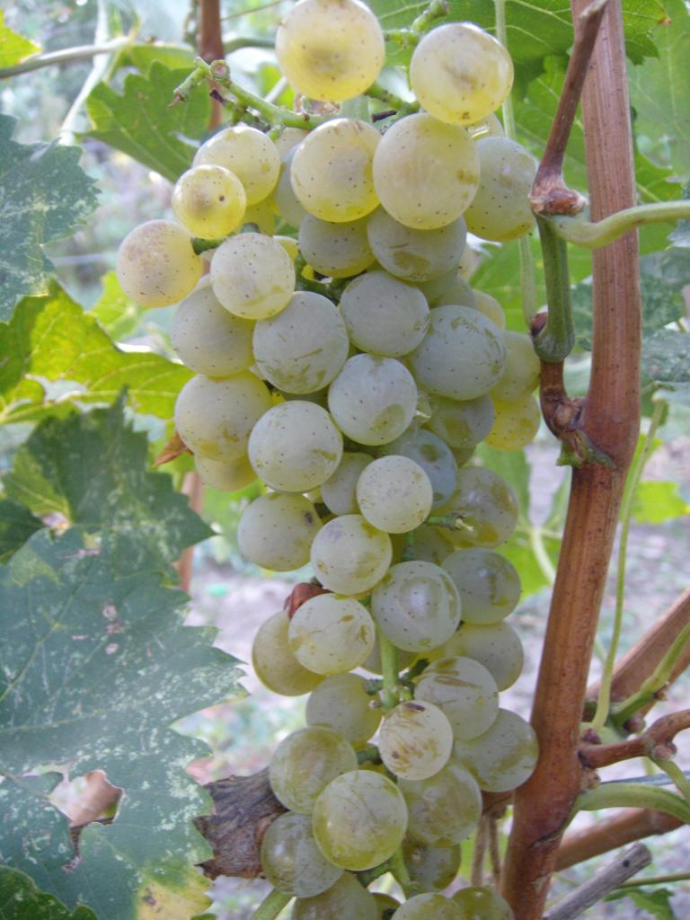 Описание и характеристика винограда сорта Бианка, посадка и уход