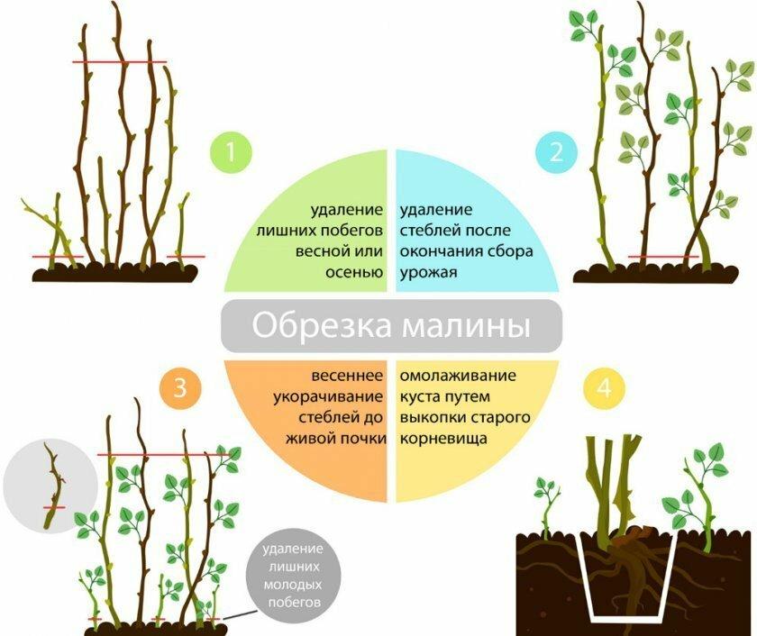 Ремонтантная малина выращивание и уход весной, видео и фото