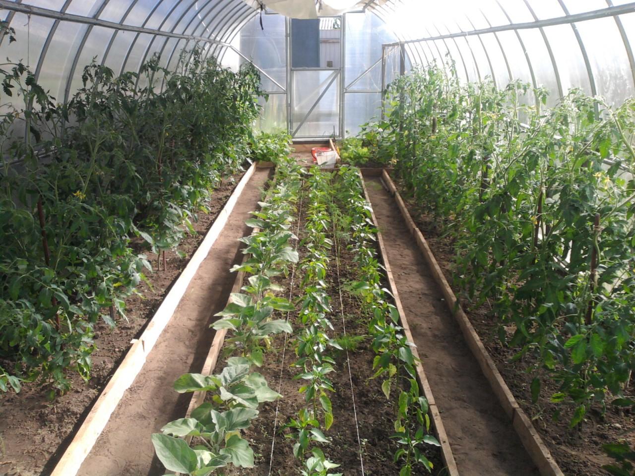 Что можно сажать и выращивать в теплице вместе с помидорами? можно ли посадить рядом томат и землянику? русский фермер