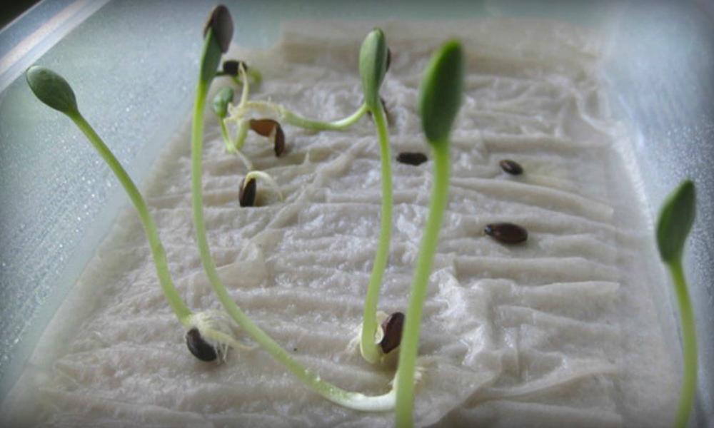 Расскажем, как прорастить семена огурцов быстро: обязательно ли нужно проращивание перед посадкой и сколько времени это займет, почему семечки могут не прорасти