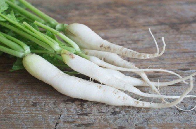 Польза и вред редьки дайкон для организма, использование белого редиса в кулинарии и народной медицине