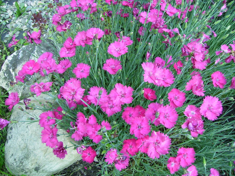 Гвоздика альвуда - цветочный мир