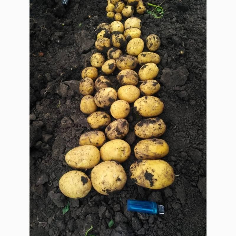 ✅ картофель коломбо надо выкапывать раньше. картофель коломбо: 8 особенностей и 10 советов по выращиванию и хранению - живой-сад.рф