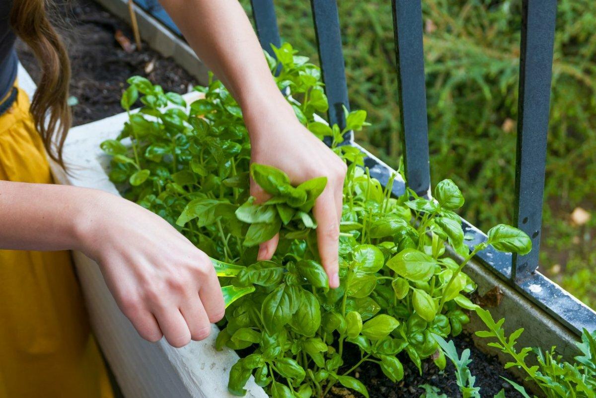 Как вырастить базилик на подоконнике?