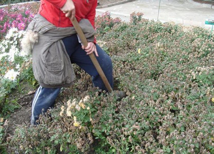 Как укрыть розмарин на зиму в открытом грунте, стрижка растения перед зимовкой, сроки пересадки и сорта, не требующие укрытия