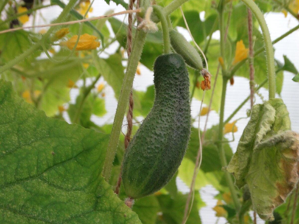 Огурцы: сорта для открытого грунта