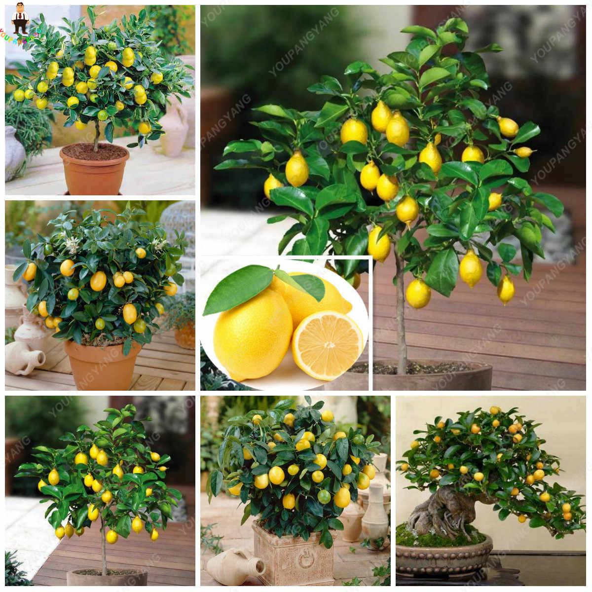Комнатное живое дерево: фото с описанием, особенности ухода, выращивание и рекомендации цветоводов