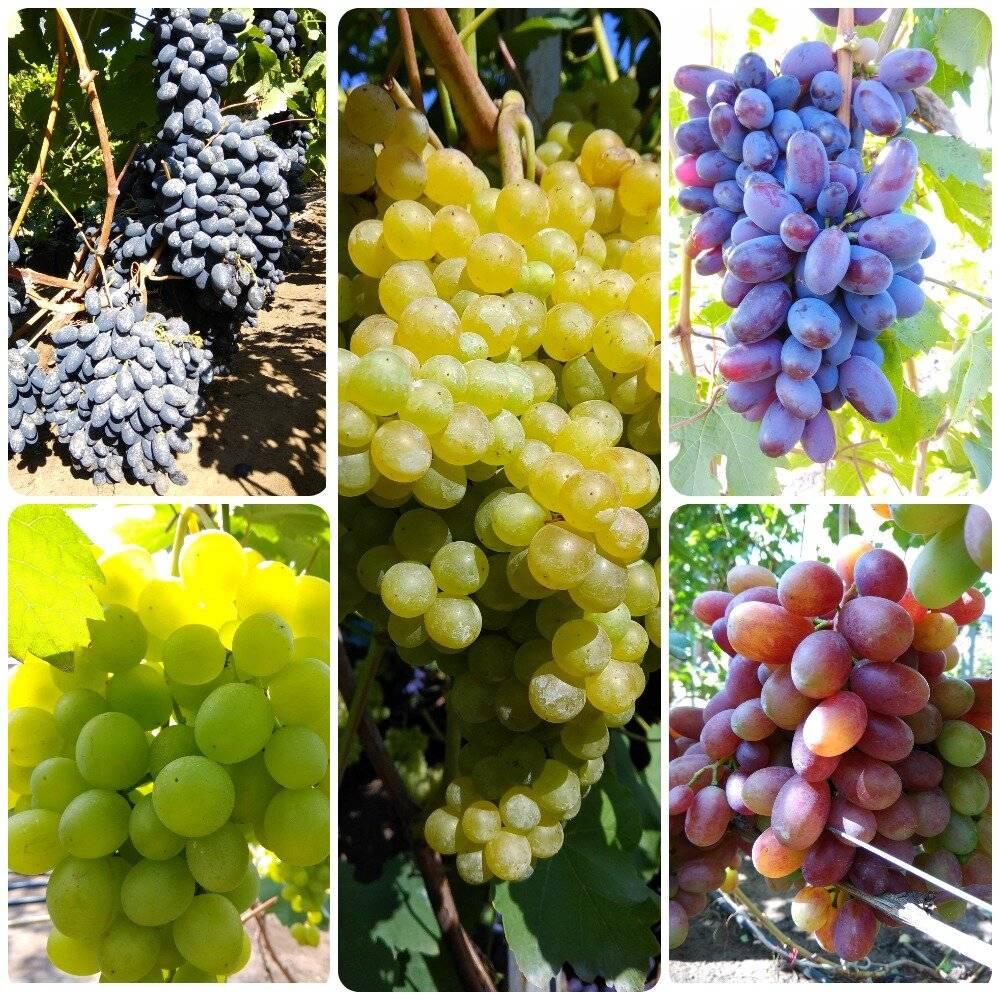 Шираз виноград: сорт вина сира и его описание