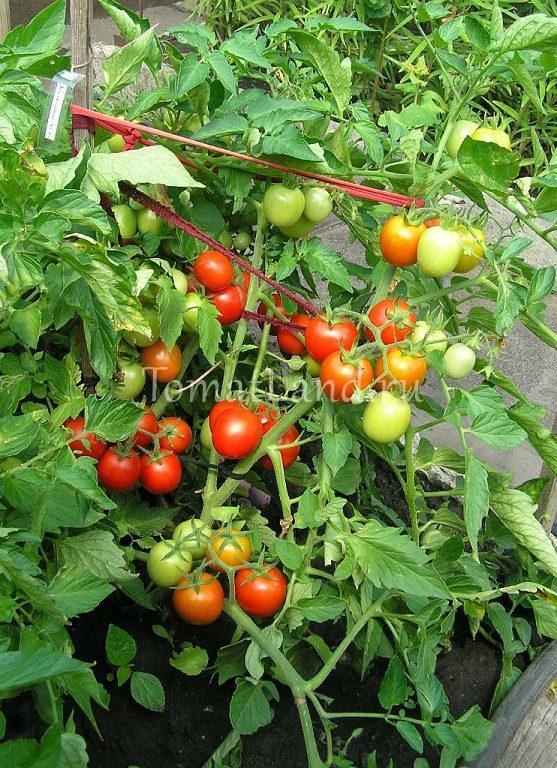 Томат «балконное чудо», как выращивать?