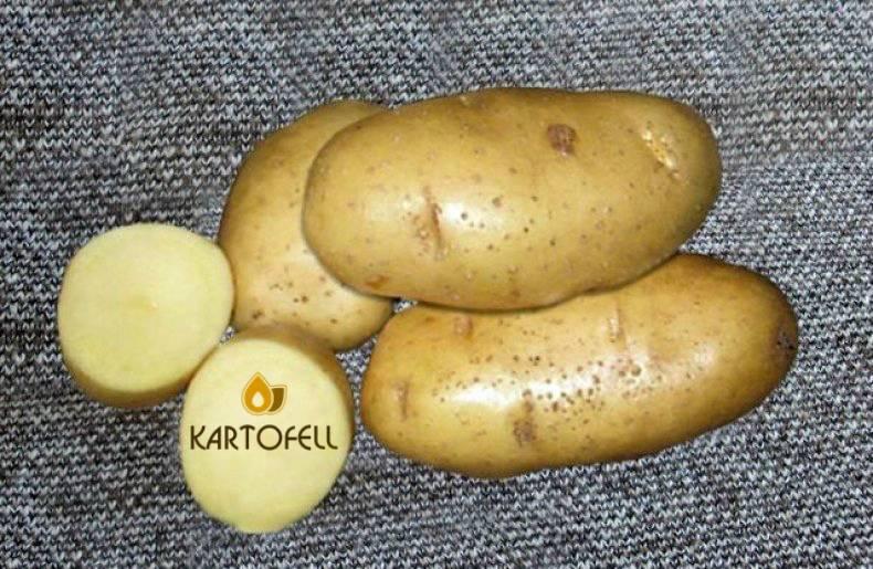Картофель чародей: фото, описание сорта, выращивание и уход