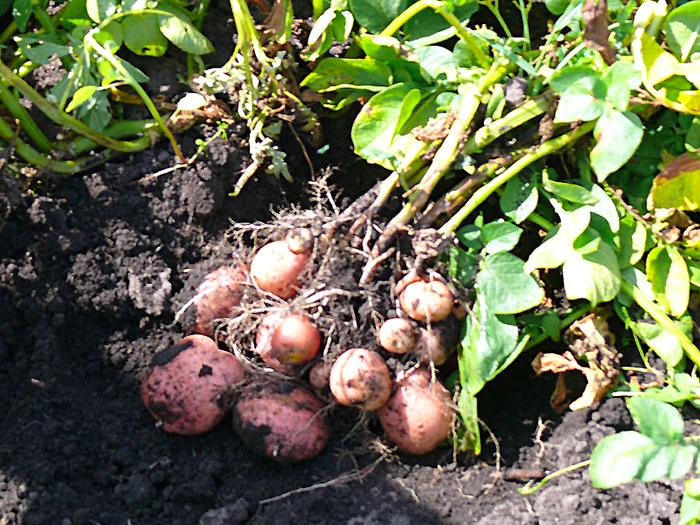 Про картофель — сорокодневку