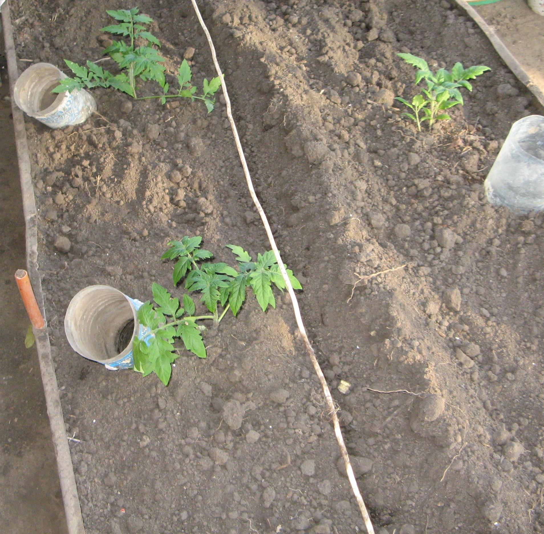 Выращивание томатов – в открытом грунте, от а до я, как правильно ухаживать, советы агронома, видео