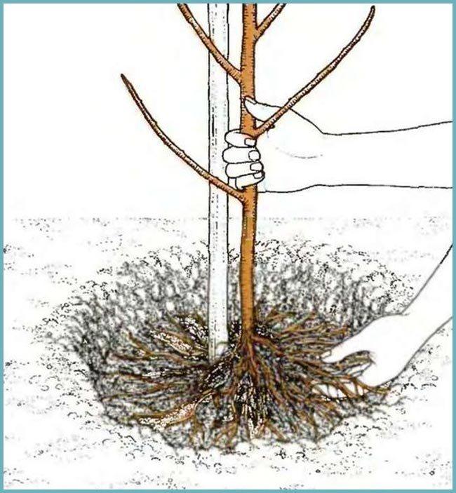 Миндаль трехлопастный - описание, размножение, уход, посадка, фото, применение в саду, сорта и виды