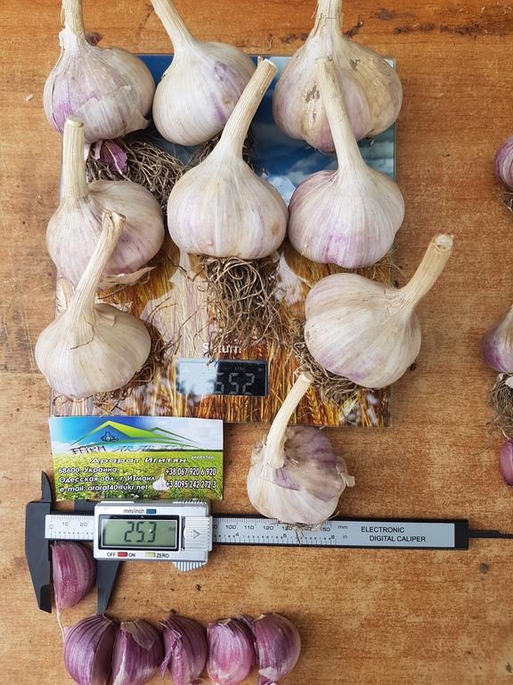 Топ 50 лучших и урожайных сортов чеснока
