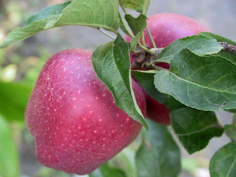 Яблоня анис: описание сорта, фото, отзывы