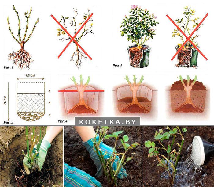 Как сохранить розу до посадки в открытый грунт
