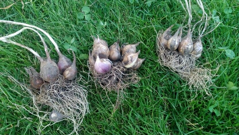 Посадка, выращивание и уход однозубкового чеснока, когда выкапывать и убирать