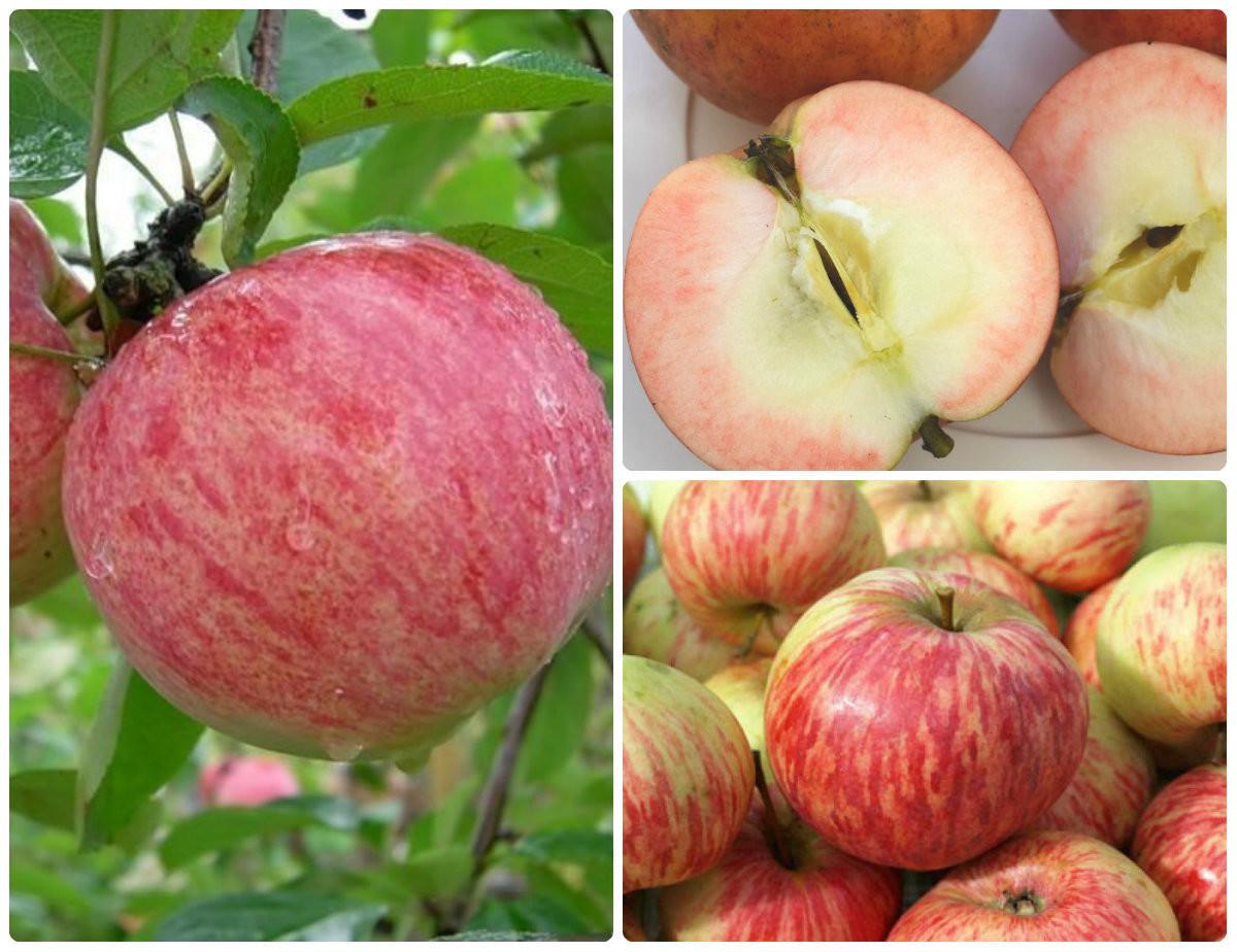 Яблоня коричное полосатое: описание, фото, отзывы