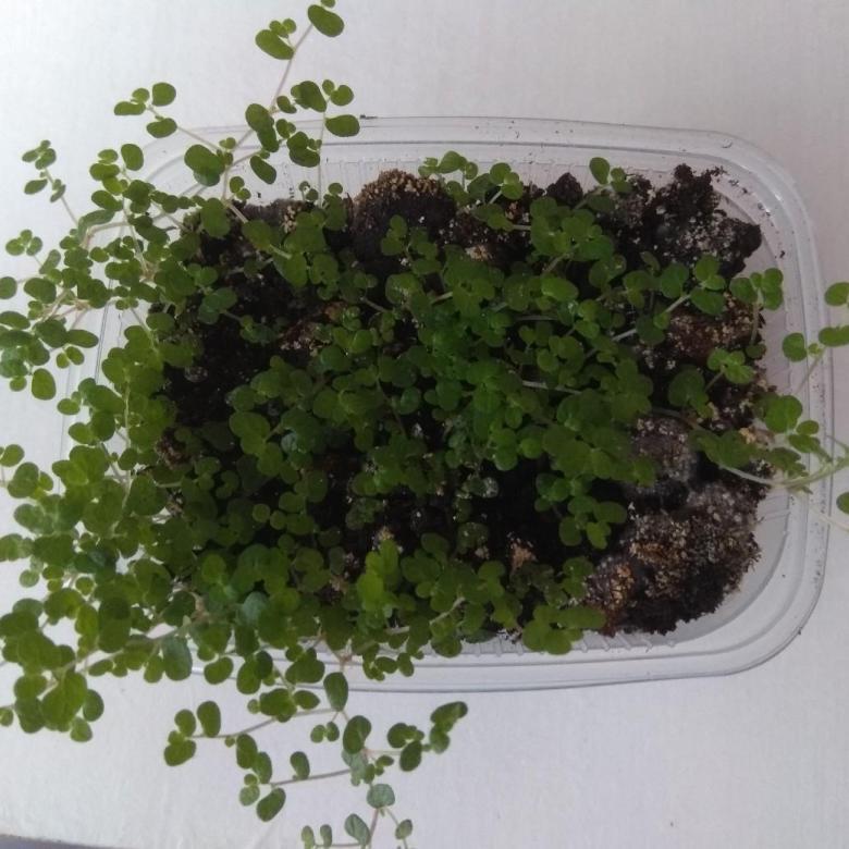 Олеандр: размножение, особенности выращивания и ухода, фото