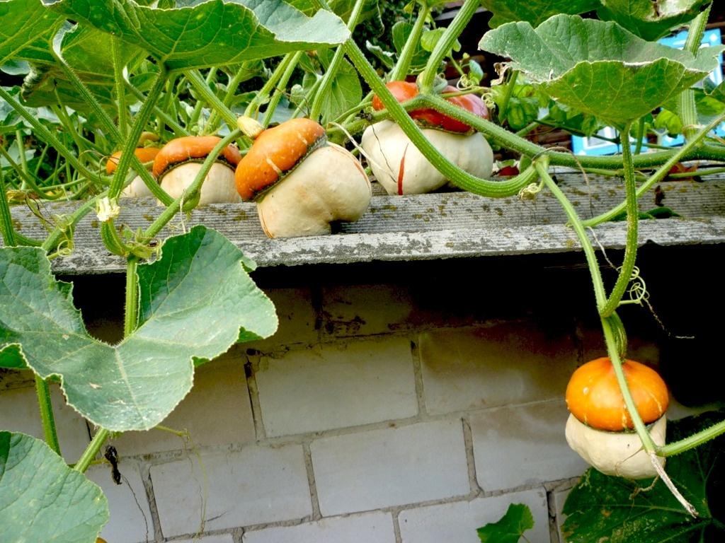Как вырастить тыкву на балконе? - полезные советы дачнику на каждый день.