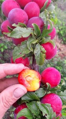 Сорт сливы июньская роза