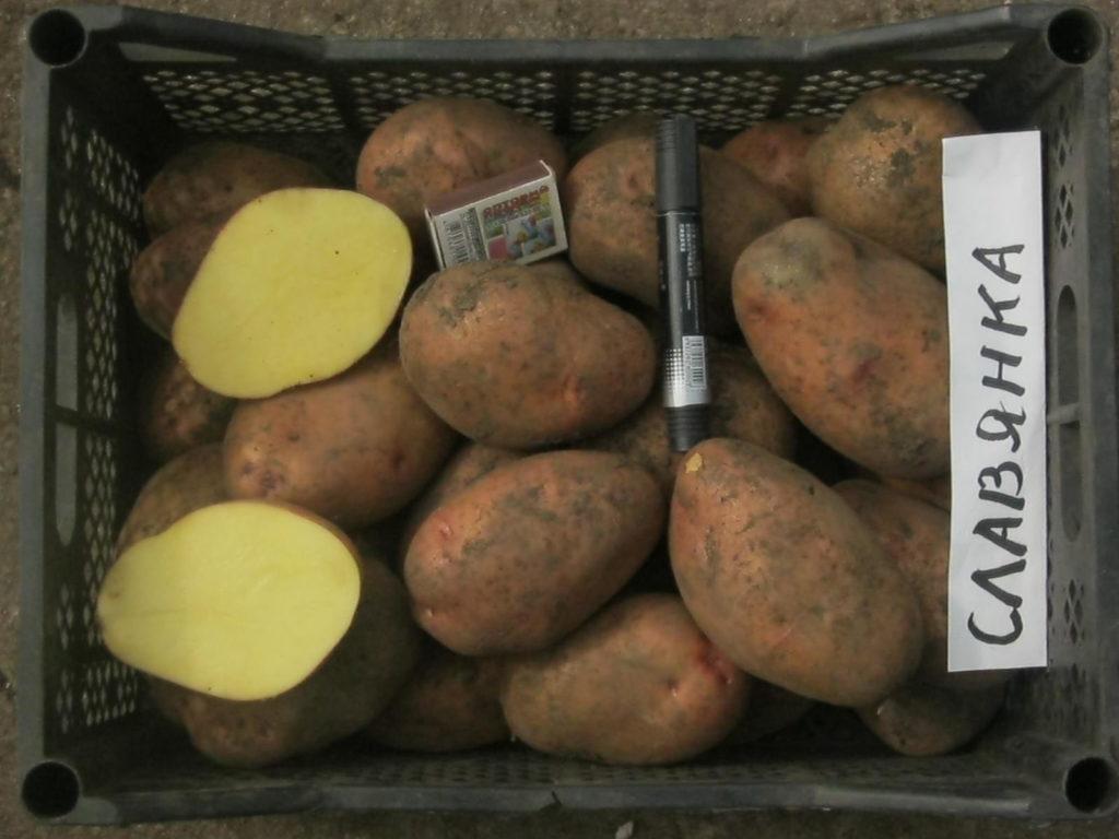 Картофель чародей: характеристика и описание сорта, фото, отзывы