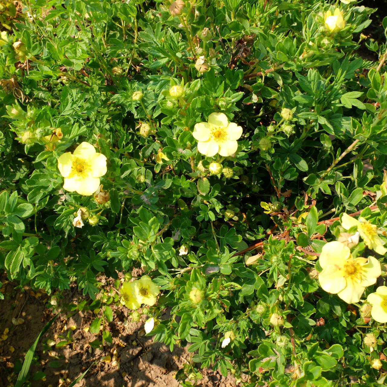 Лапчатка кустарниковая как декоративное растение средних широт