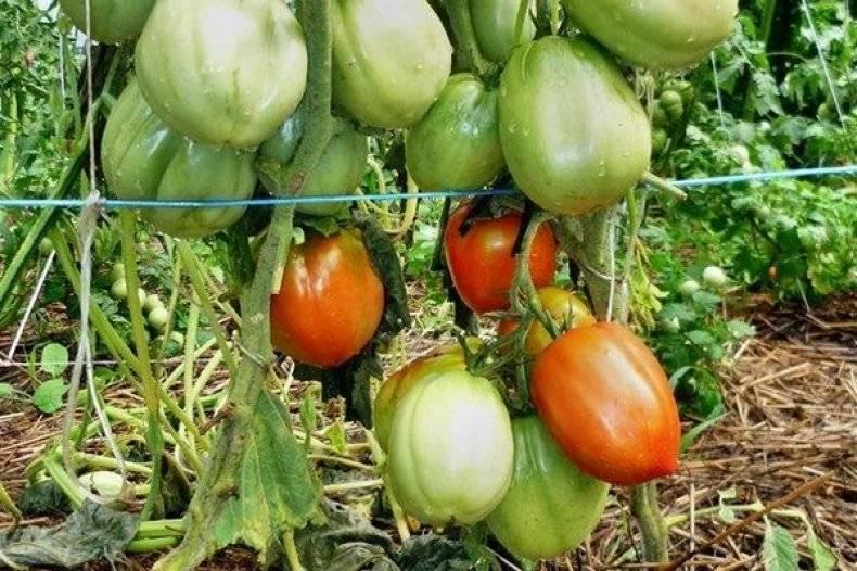 Как вырастить помидоры сорта столыпин