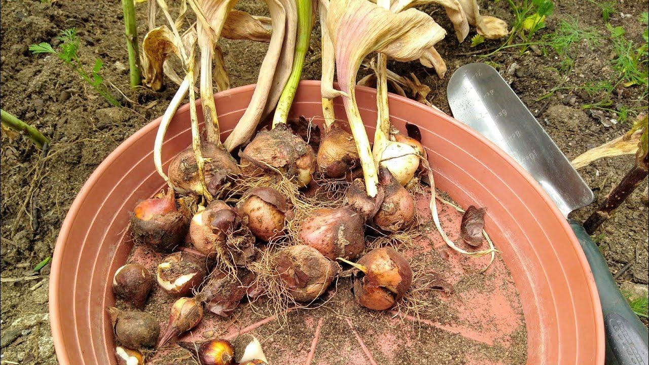 Когда и как выкапывать луковицы тюльпанов после цветения летом: сроки, способы хранения до осенней посадки