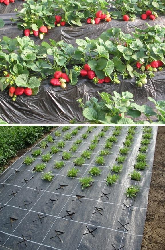 Пошаговая схема посадки клубники на черный укрывной материал и правила выращивания
