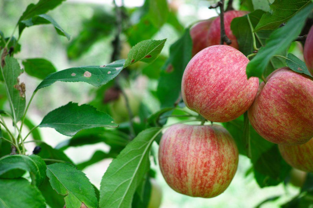 Яблоня фуджи: описание и особенности посадки сорта