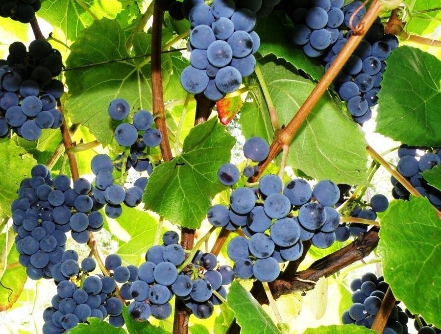 Зилга: виноград, который не боится осенних заморозков
