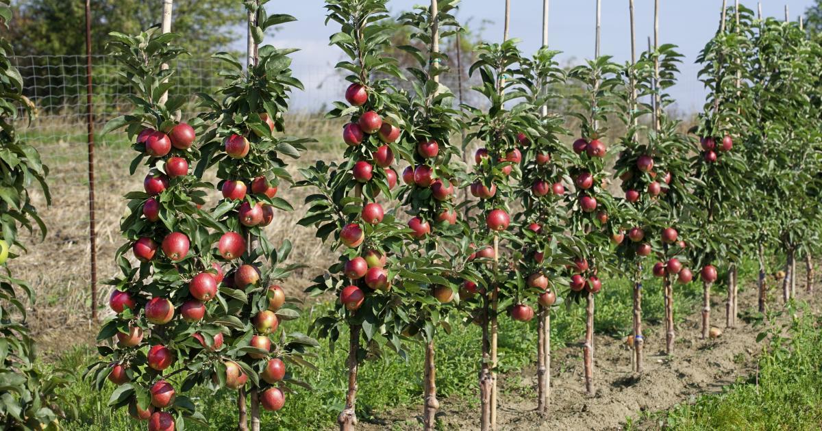 Лучшие сорта и посадка персика в подмосковье весной