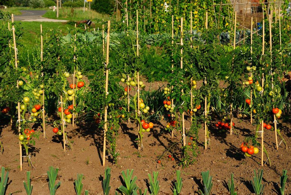 Штамбовые томаты: что это такое, лучшие сорта для открытого грунта и теплиц