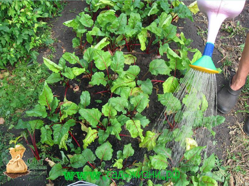 Полив свеклы соленой водой в открытом грунте: можно ли увеличитьсладость корнеплодов, пропорции раствора, а также как подкормить овощ в огороде