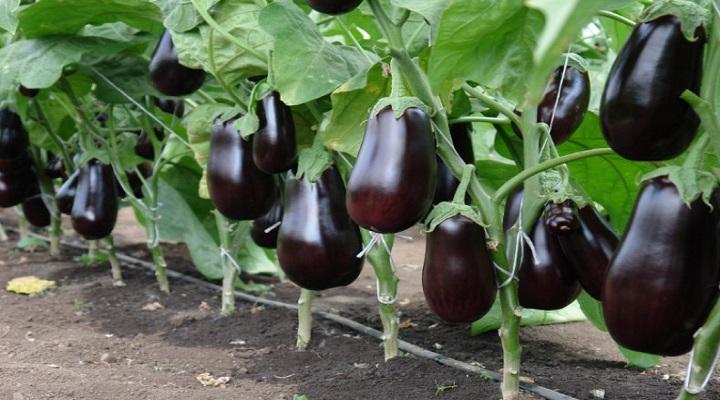 Баклажан щелкунчик f1: описание сорта, фото, отзывы, посадка и уход, выращивание, достоинства и недостатки сорта