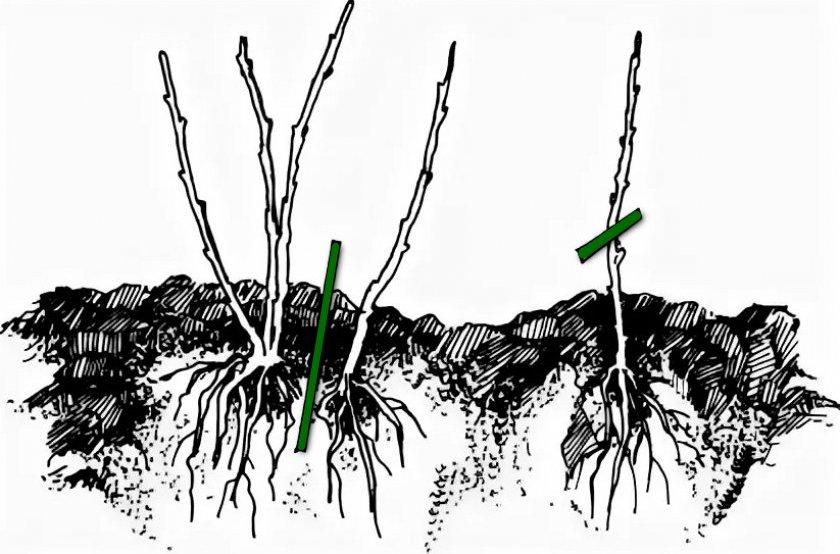 Смородина: посадка и уход, обрезка, размножение, полив, подкормка, сорта и гибриды, фото